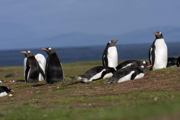 Gentoo penguins on Carcass Island | Carcass Island | Isole Falkland