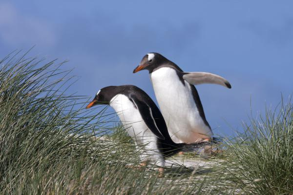 Gentoo penguins tumbling down a dune on Carcass Island | Carcass Island | Isole Falkland
