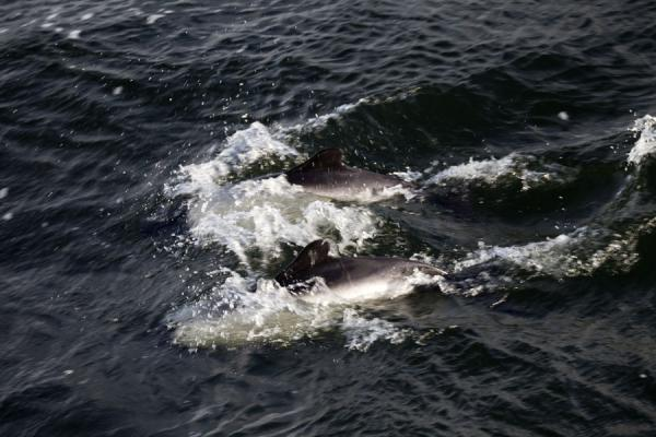 Commerson's dolphins playing in a bay of Carcass Island |  | 傅克兰群岛