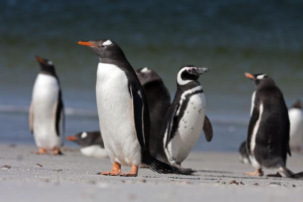 Picture of Carcass Island (Falkland Islands (Malvinas)): Magellanic penguin crossing a group of Gentoos on a beach of Carcass Island