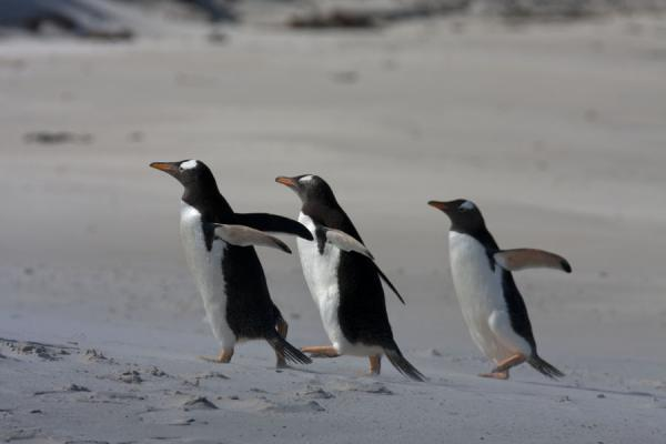 Trio of Gentoo penguins walking up a beach of Carcass Island | Carcass Island | Isole Falkland