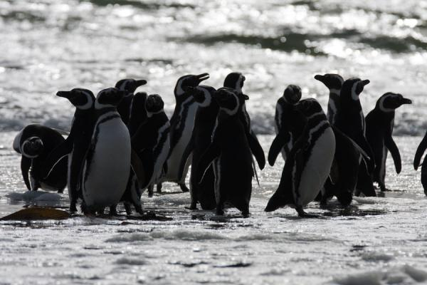 Magellanic penguins playing in the surf of a beach of Carcass Island | Carcass Island | Isole Falkland