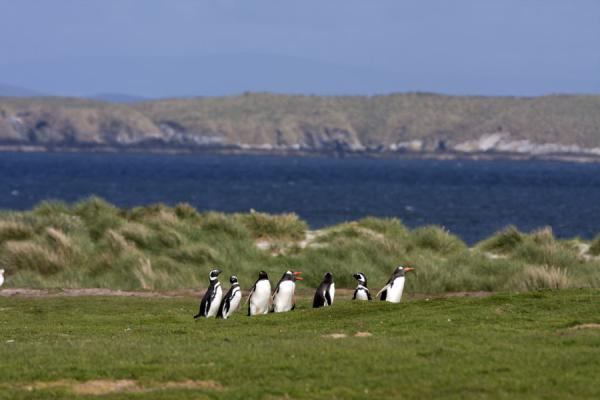 Group of Gentoo penguins walking on Carcass Island | Carcass Island | Falkland Islands (Malvinas)