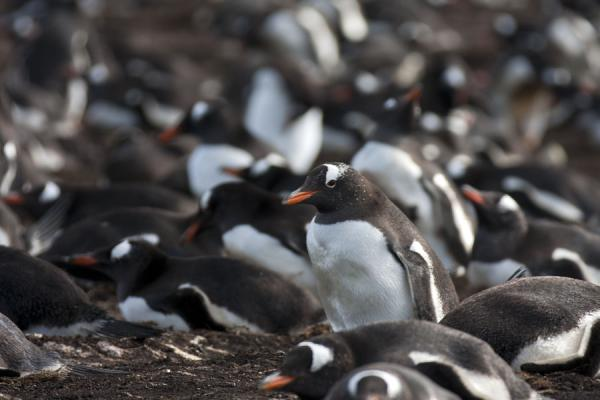 Close-up of small colony of Gentoo penguins on Carcass Island |  | 傅克兰群岛