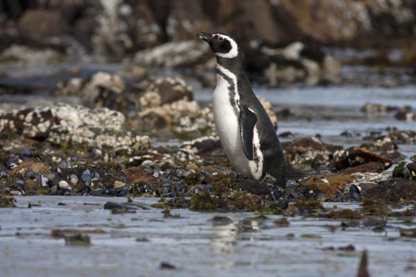 Foto van Magellanic penguin getting out of the sea at Carcass Island - Falklandeilanden - Amerika