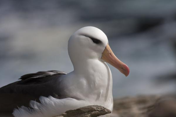 Foto di Black-browed albatross on its nestNew Island - Isole Falkland