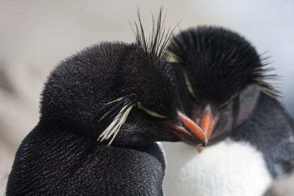 Picture of Cuddly rockhopper penguins in the rookery at New Island