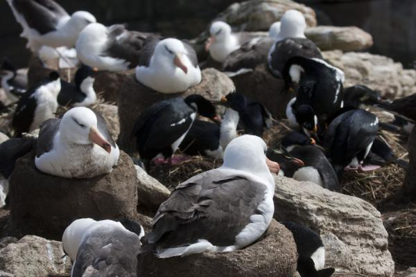 Black-browed albatrosses, rockhopper penguins, and blue-eyed cormorants all together at New Island rookery | New Island | Falklandeilanden