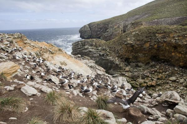 Picture of Overview of the rookery at New IslandNew Island - Falkland Islands (Malvinas)