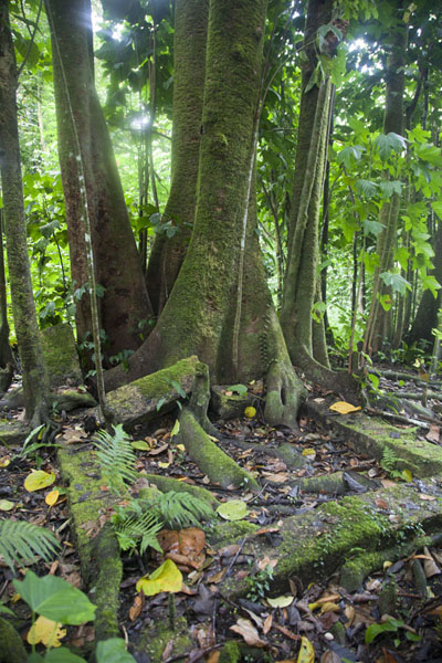 Picture of Foundations of barracks and trees on top of Sokehs ridgeSokehs ridge - Federated States of Micronesia