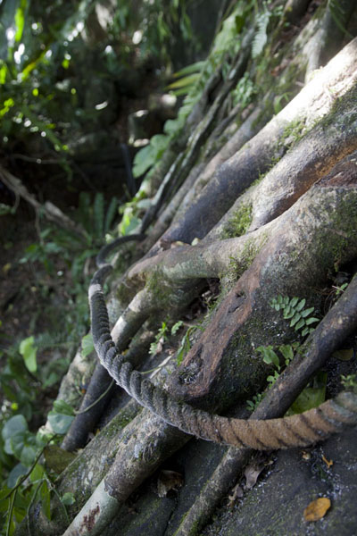 Rope around roots at a steep section of the climb | Sokehs rock | Federated States of Micronesia