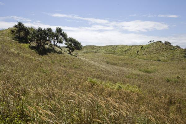 Trees sticking out above the high grass covering the sand dunes | Sigatoka sand dunes | Fiji