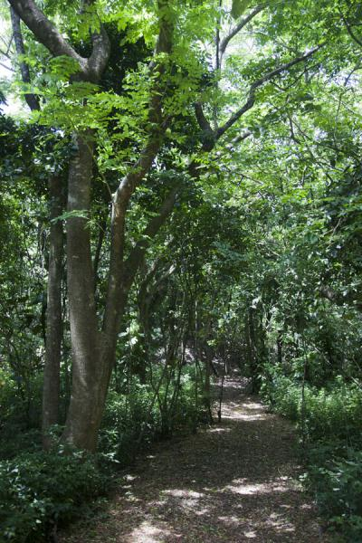 Picture of Sigatoka sand dunes (Fiji): Path leading through the Driodrio, or dark, forest