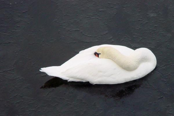 Picture of Helsinki Harbour Winter (Finland): Swan seeking protection from cold in Finnish sea