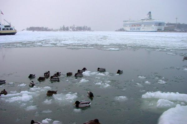 Picture of Helsinki Harbour Winter (Finland): Ducks diving into open water in Helsinki harbour