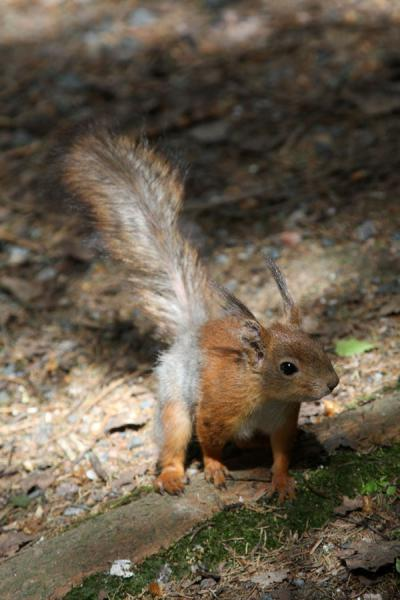 Photo de Squirrel on Seurasaari island - la Finlande - Europe