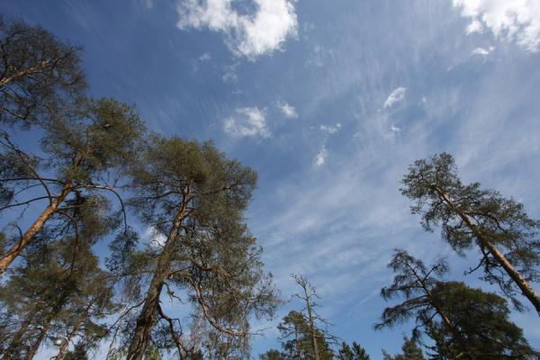 Foto de Trees pointing to the sky on Seurasaari island - Finlandia - Europa