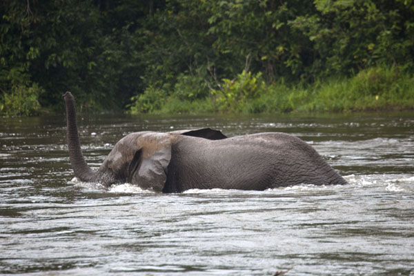 The elephant crossing the river with his trunk in the air | Kessala elephant hike | Gabon