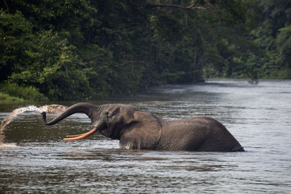 Foto de Elephant playing with water in the riverKessala - Gabón