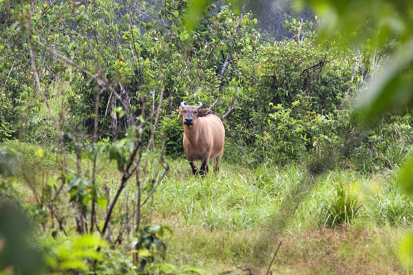 Buffalo on the beach where elephants also come | Kessala elephant hike | Gabon