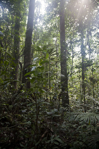 Foto de Early morning light filtering through the canopy of the tropical forestKessala - Gabón