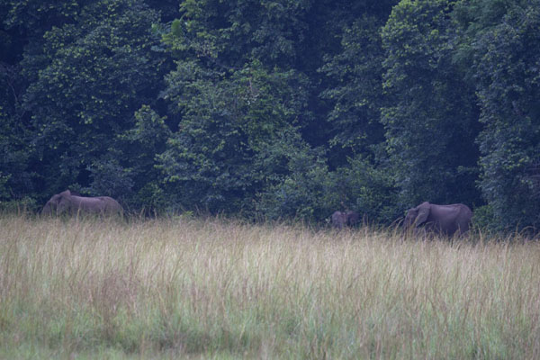Foto di Forest elephants sometimes leave the forest to have a look on the savannah - Gabon - Africa