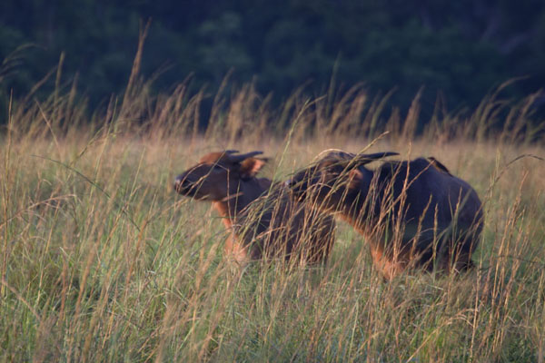 Buffaloes in the late afternoon | Nyonié Wonga Wongué Reserve | 加彭