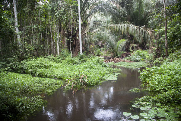 Foto van Stream running through the tropical forest - Gabon - Afrika