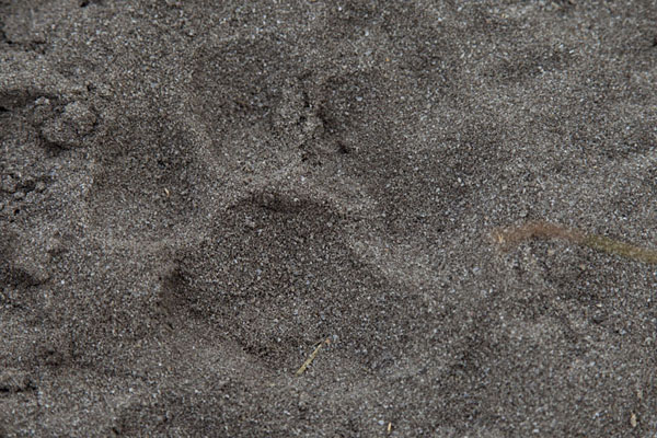 Foto van Footprint of a pantherNyonié - Gabon