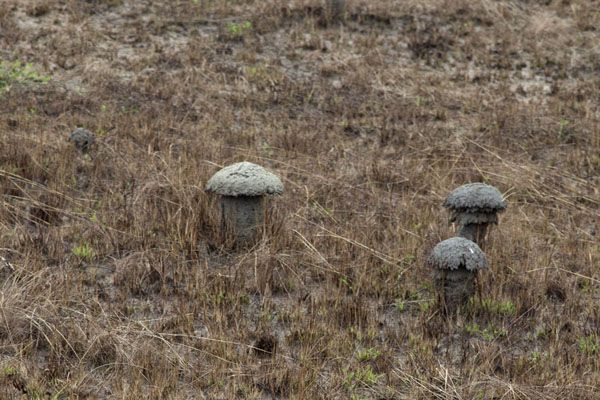 Foto van Termites create mushroom-shaped housingNyonié - Gabon