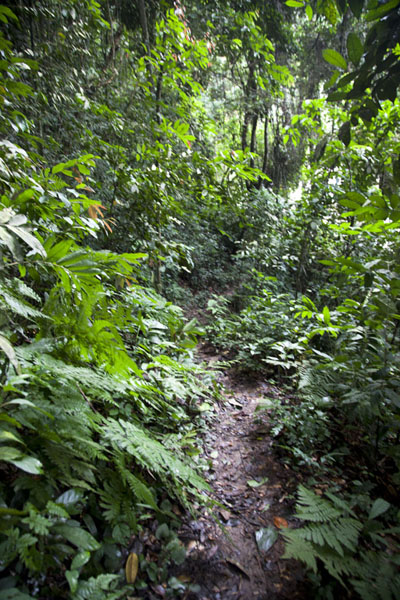 Foto de The trail through the jungle to reach Poubara FallFranceville - Gabón