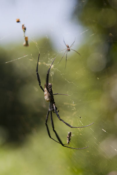 Close-up of a spider and the mosquitoes in his net | Abuko Nature Reserve | Gambia