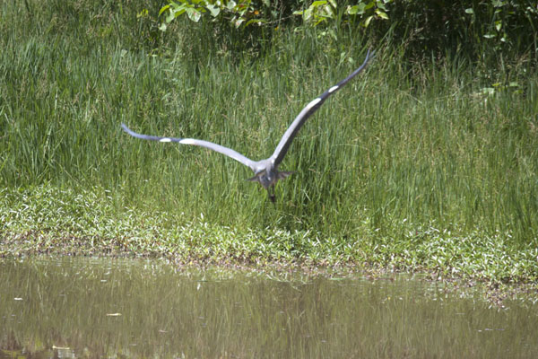 Picture of Bird flying over the water of the pool at the Darwin Field Centre - Gambia - Africa
