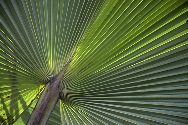 Close-up of big leaf in Abuko park | Abuko Nature Reserve | Gambia