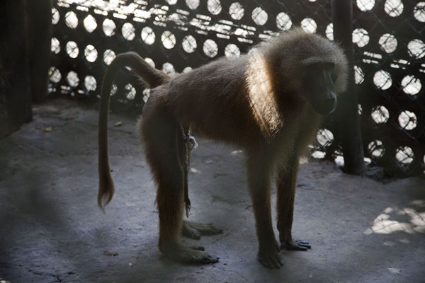 Baboon in his cage in the asylum - 甘比亚