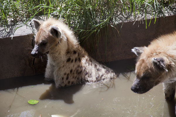 的照片 Hyenas in the water - 甘比亚