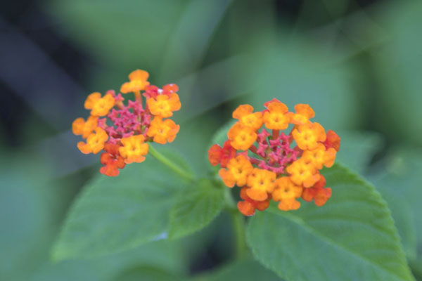 Close-up of tiny flowers in Abuko park - 甘比亚