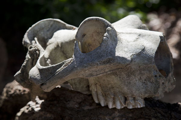 Picture of Skull lying around at the asylumSerekunda - Gambia