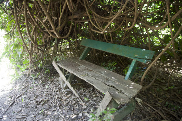 Bench overgrown by a tree - 甘比亚
