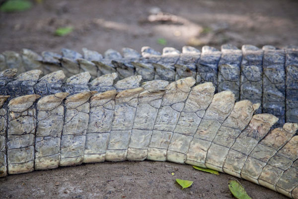Close-up of the tail of one of the crocodiles in the pool | Katchikally Sacred Crocodile Pool | Gambia