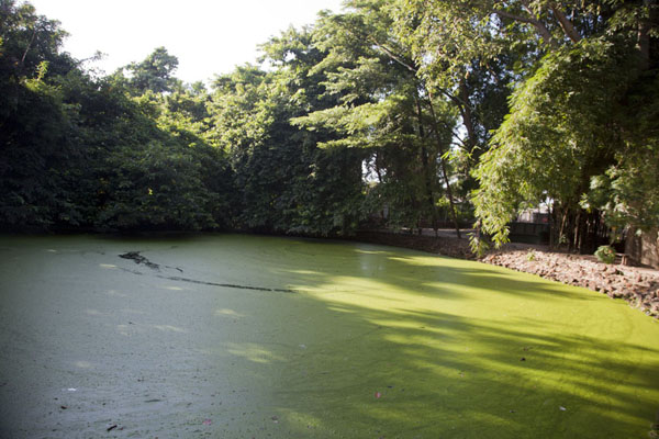 The crocodile pool of Katchikally is covered with duckweed | Katchikally Sacred Crocodile Pool | Gambia