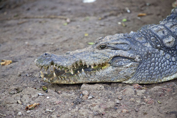 Side view of the mouth of a crocodile | Katchikally Sacred Crocodile Pool | Gambia
