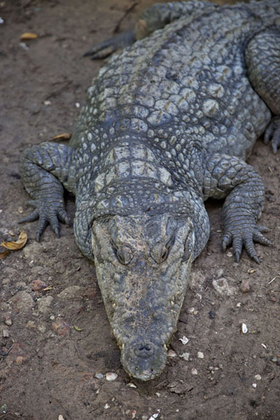 Frontal view of one of the crocodiles | Katchikally Sacred Crocodile Pool | Gambia