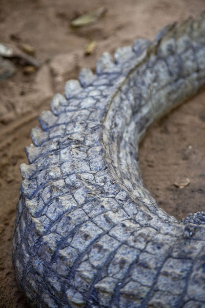 The tail of one of the crocodiles | Katchikally Sacred Crocodile Pool | Gambia
