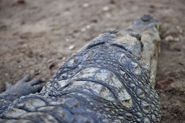 Foto van View of a crocodile head from aboveKatchikally Sacred Crocodile Pool - Gambia