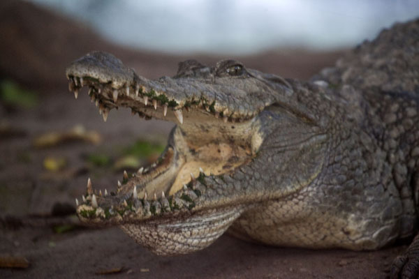 Photo de Gambie (Close-up of crocodile with open mouth at the pool)
