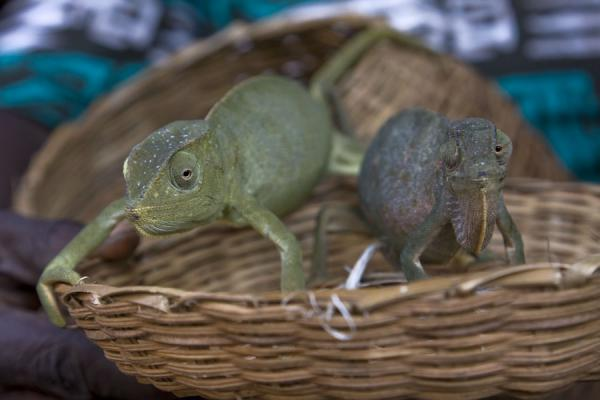 Live chameleons in a basket | Timber market | Ghana