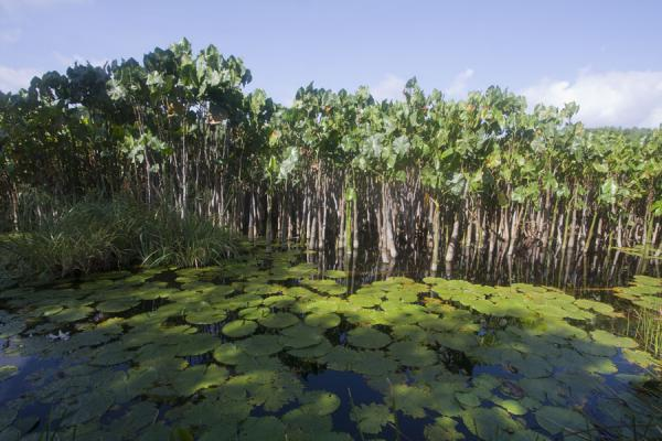 Picture of Lake Antoine (Grenada): Waterlilies and water-plants in Lake Antoine