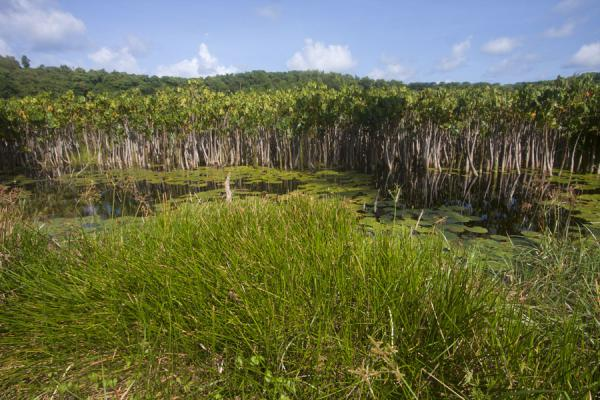 The crater lake of Lake Antoine filled with water-plants | Lake Antoine | Grenada