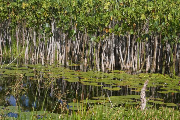 Photo de Close-up of the water-plants inside Lake AntoineLake Antoine - Grenade